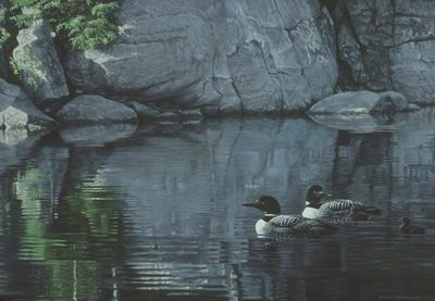 Northern Reflections - Loon Family